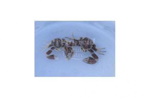 "Neopetrolisthes maculatus ""Pink Anemone Crab"""
