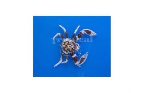 """Neopetrolisthes ohshimai """"Spotted Anemone Crab"""""""