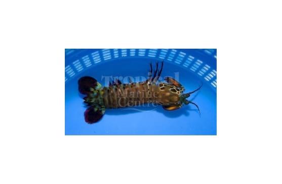 "Odontodactylus scyllarus ""Giant Peacock Mantis Shrimp"""