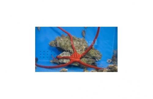"Ophioderma rubicundum ""Scarlet Serpent Starfish"""