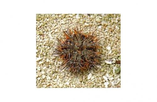 "Tripneustes gratilla ""Orange Spine Urchin"""