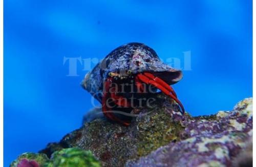 "Paguristes cadenati ""Scarlet Hermit Crab"""