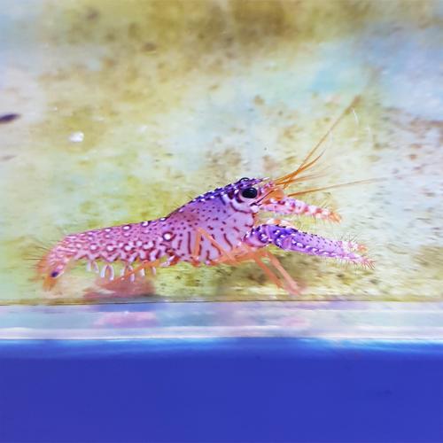 """Enoplometopus daumi """"Pink Lobster"""""""
