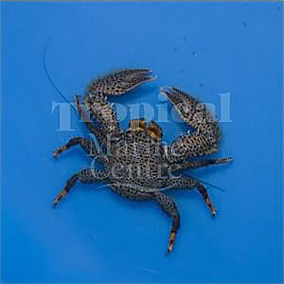 """Petrolisthes australiensis """"Porcelain Crab"""""""