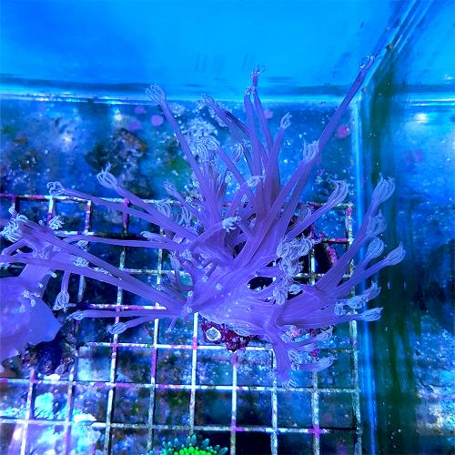 "Cespitularia sp. ""Purple Vargas"" WYSIWYG"