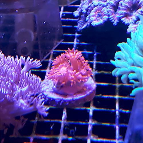 """Goniopora sp. """"Ultra pink with purpletip"""" WYSIWYG"""
