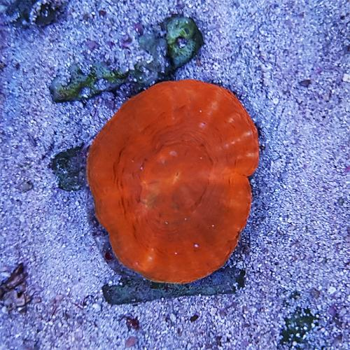 """Scolymia australis """"Red"""" WYSIWYG"""