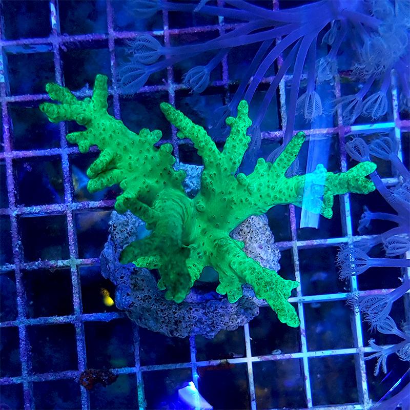 """Sinularia sp. """"Neon Green"""" WYSIWYG"""
