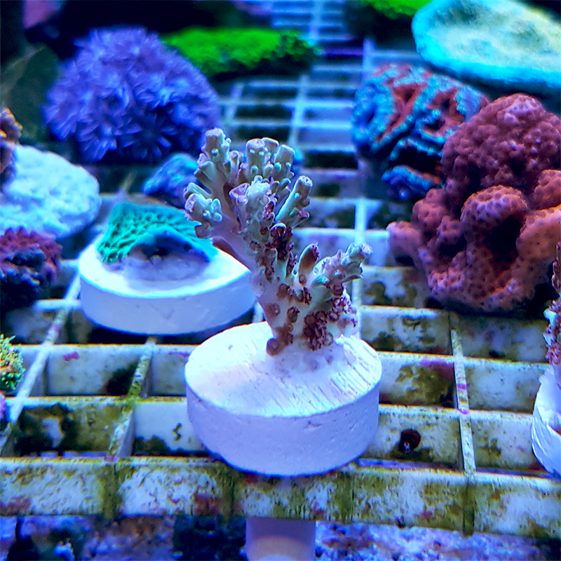 "Acropora microlados ""Strawberry Short Cake"" WYSIWYG"