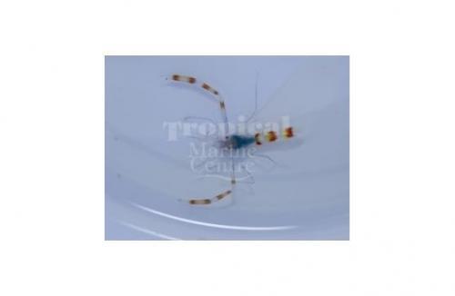 """Stenopus tenuirostris """"Blue Boxing Shrimp"""""""