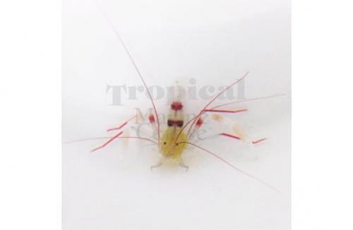 "Stenopus zanzibaricus ""Gold Coral Banded Shrimp"""