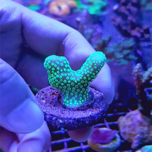 """Stylopora sp. """"Neon Green"""" WYSIWYG"""