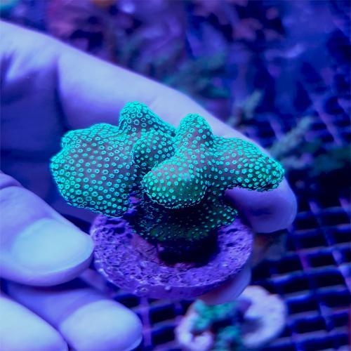 """Stylopora sp.""""Green"""" WYSIWYG"""