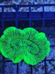 WYSIWYG Trachyphyllia Neon Grön