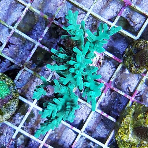 Acropora turaki WYSIWYG