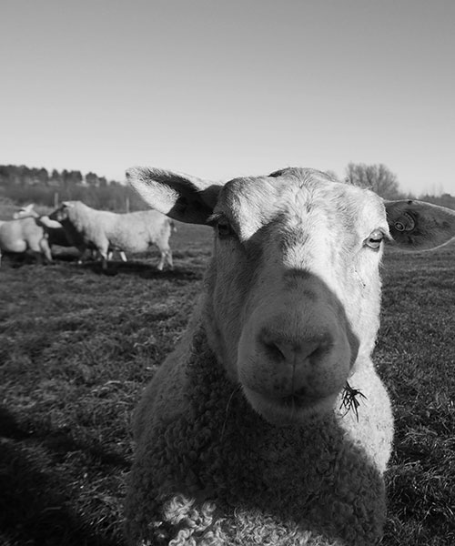 Close-up of a sheep on a field in Skåne.