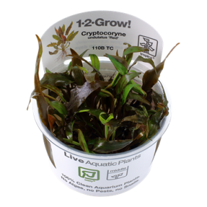 Tropica Cryptocoryne undulatus 'Red' 1-2-Grow!
