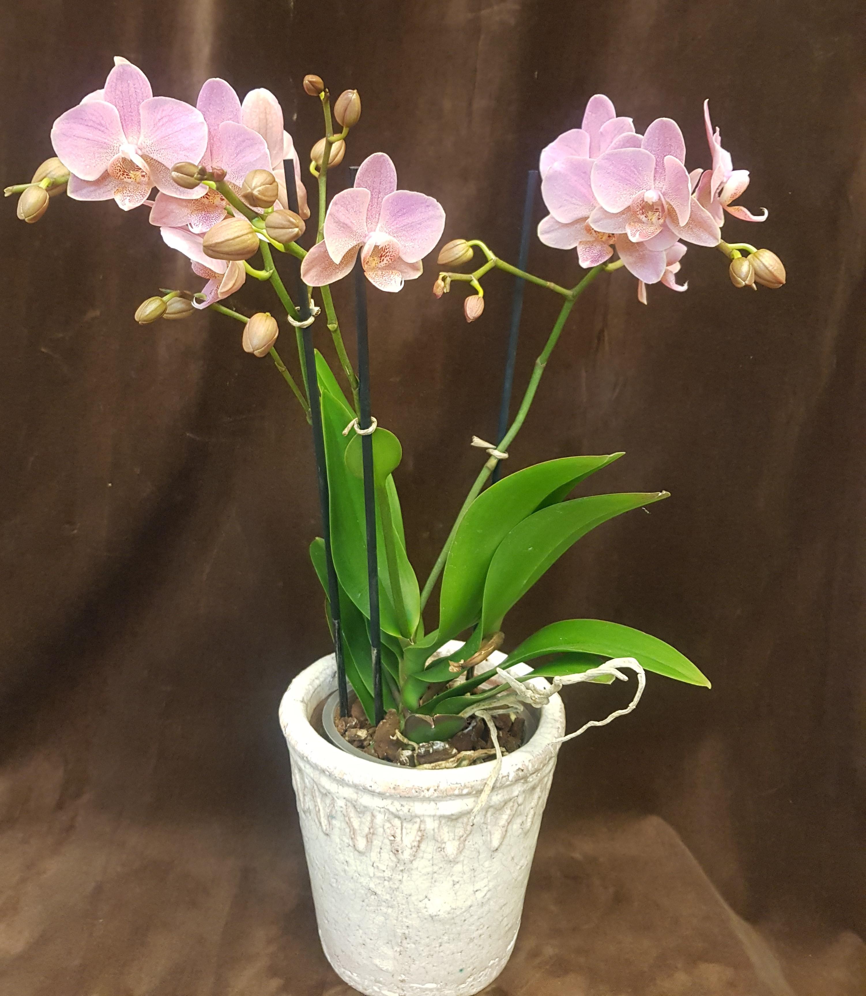 Orkidé med kruka