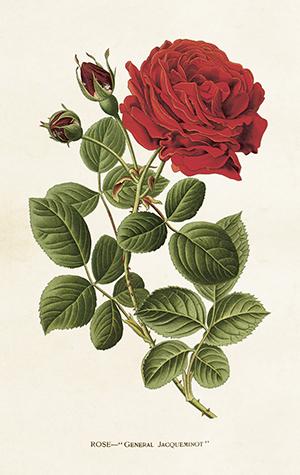 Paketkort Vintage, Sköna Ting - Röd ros