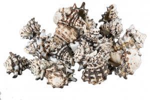 Snäckor Ceranicum 5-7 cm, 200g