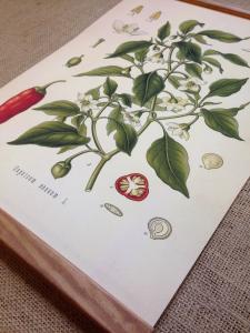 Skolplansch/ Spansk peppar/ Chili/ Plansch