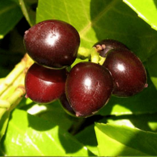 Lagerbär om används i tillverkning av Terra Rosa Aleppotvål, Savon d'Alep med Lagerbärsolja & olivolja. Köp online från Casa Zeytin