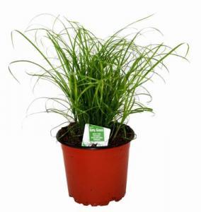 Kattgräs i kruka 12 cm