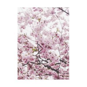 Poster - Cherry Blossom, fotografi av vacker körsbärsblom