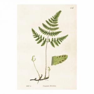 Poster botanisk med vacker botanik - Ormbunke