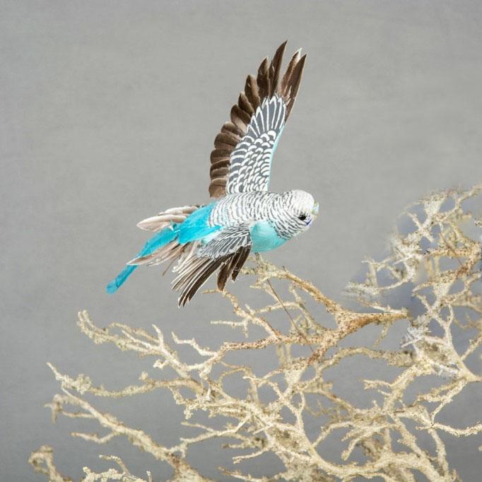 Flygande Undulat Turkos