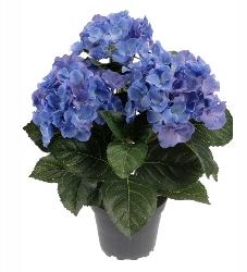 Hortensia - Blå - 30 cm
