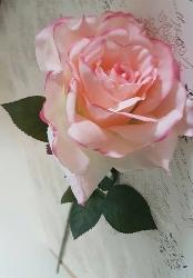 Ljus Rosa Aprikos Ros
