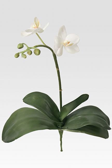 Phalaenopsis - Vit - 35Cm