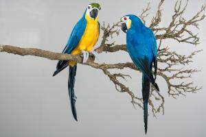 Papegoja Sittande Blå