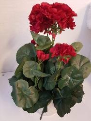 Pelargon - Röd