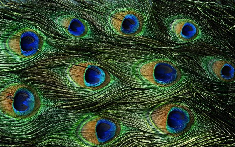 Påfågelfjädrar