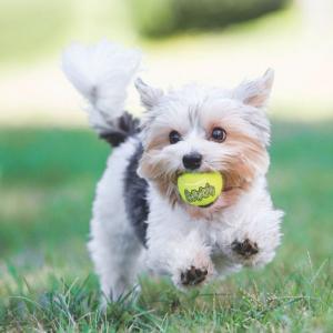 Hundleksak KONG Tennisboll Airdog Squeaker 3-pack