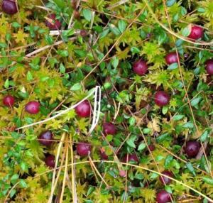 Tranbär 400 gr styckfrysta 0,20 kg i burk