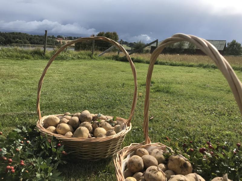 Ekologisk Potatis av sorten Twister 5 kg - Ruds Gård