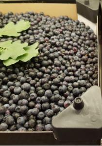 Blåbär i kartong 2,5 kg, handplockade - frysta
