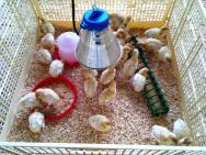 Inhägnad för kycklingar
