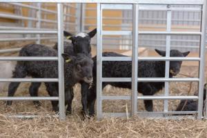 Knarrhult - Lammkammare & adoptionsgrind