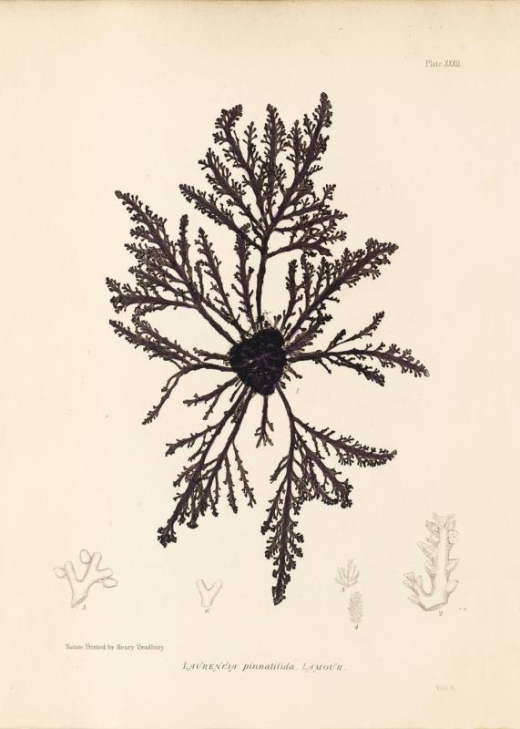 British Seaweeds #032