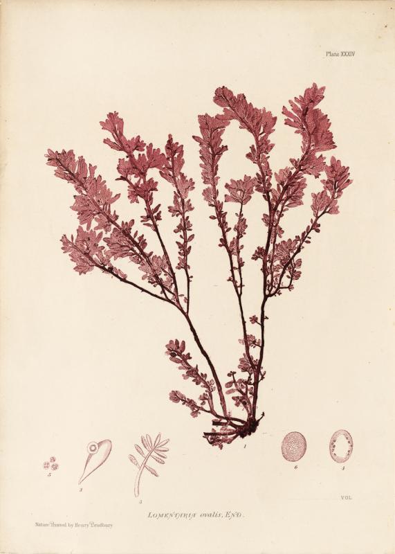 British Seaweeds #034
