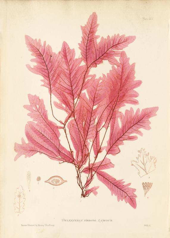 British Seaweeds #045