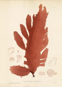 British Seaweeds #052