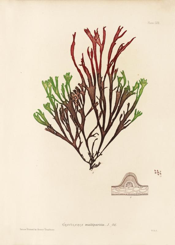 British Seaweeds #057
