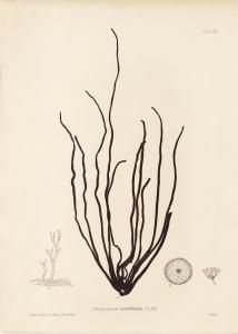 British Seaweeds #061