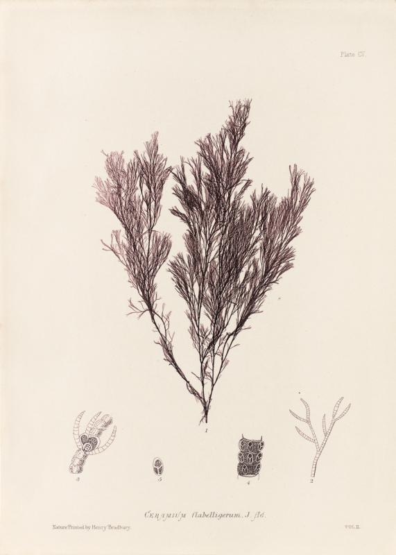 British Seaweeds #105