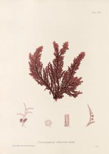 British Seaweeds #119